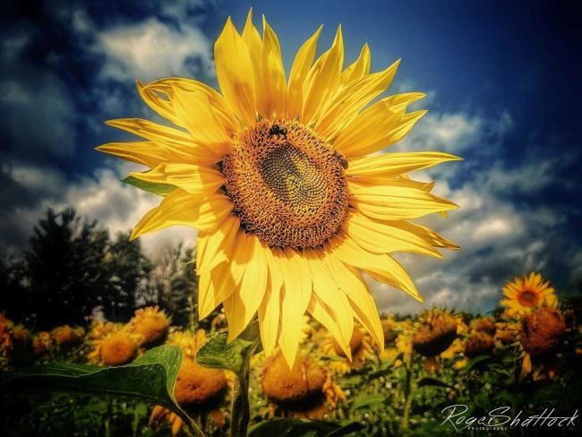 SUNSHINE: Stunning image of a sunflower by Somerset Camera Club member Roger Shattock