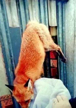 TRAPPED: The fox became stuck in railings in an alleyway just behind Top Flight Gym  in Weston-super-Mare