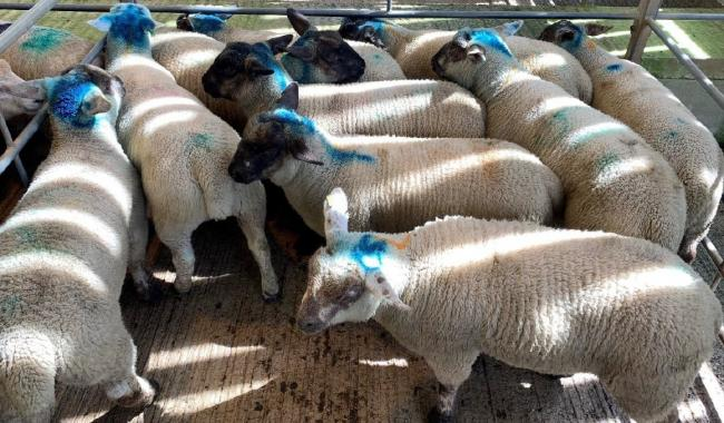 261p/kg premium lambs from Messrs. J.A. & L.S.M. Tripconey