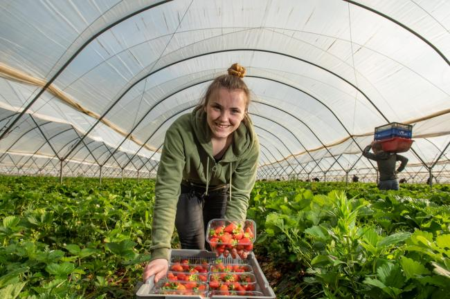 Patrycja Mitura picks strawberries at Littywood Farm, Stafford, May 19 2020. Picture: SWNS / Adam Hughes
