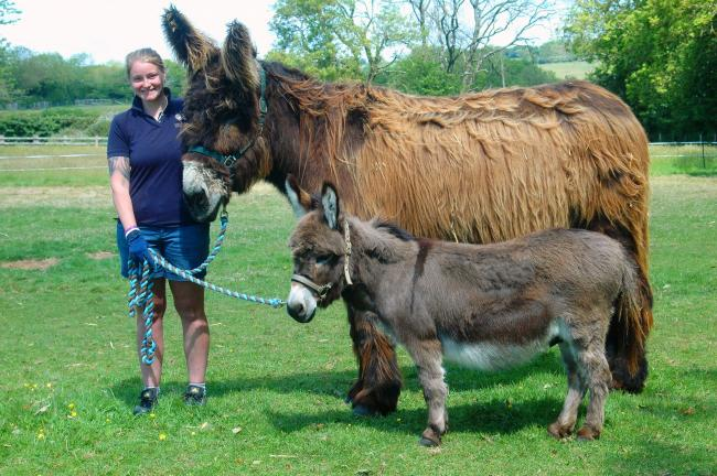 One of the Poitou donkeys with a Mediterranean Miniature donkey