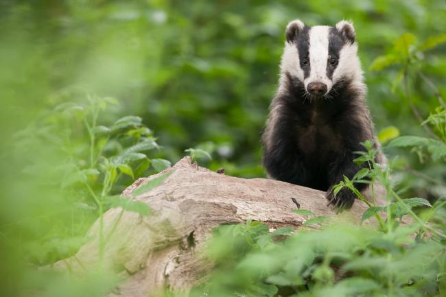 A large number of deer and badgers have been shot