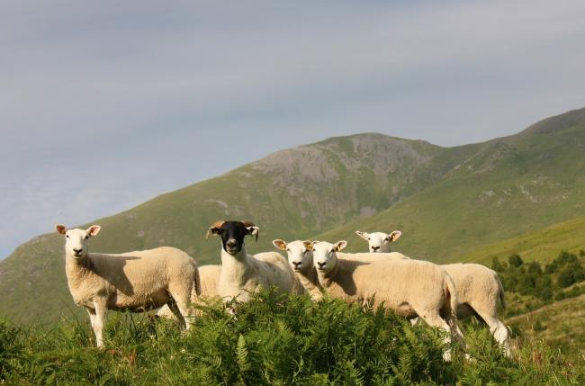 Sheep rustling rose 15% during coronavirus pandemic peak