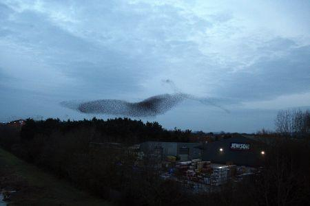 Photos of the murmuration of starlings near Obridge, Taunton, 2010. Email your photos to newsdesk@countygazette.co.uk
