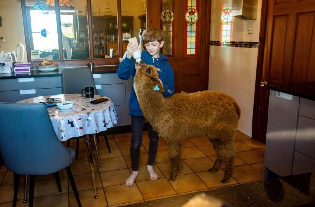 Casper Ward aged 11, with his pet alpaca called Tea  Picture: SWNS