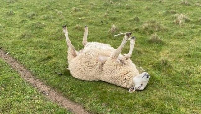 A sheep stuck on its back is in trouble. Picture: Echt Homes