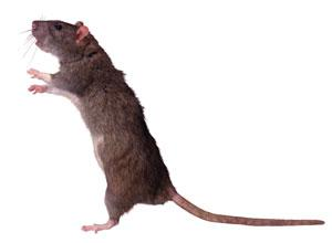 Somerset County Gazette: Can you help us trap the web vote rat?