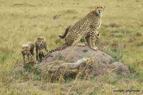 Reader's pic - Jeff snaps a cheetah in African adventure