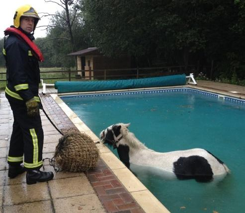 Horse stuck.....in Wedmore swimming pool