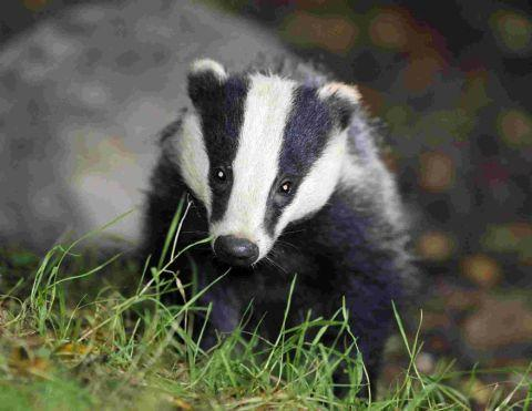 Somerset County Gazette: Badger cull 'likely' to go ahead in West Somerset