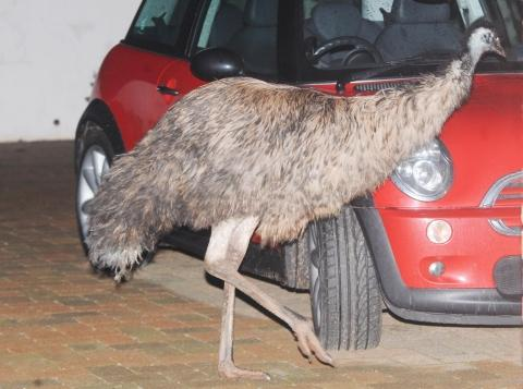 The runaway emu was spotted roaming around by stunned neighbours.