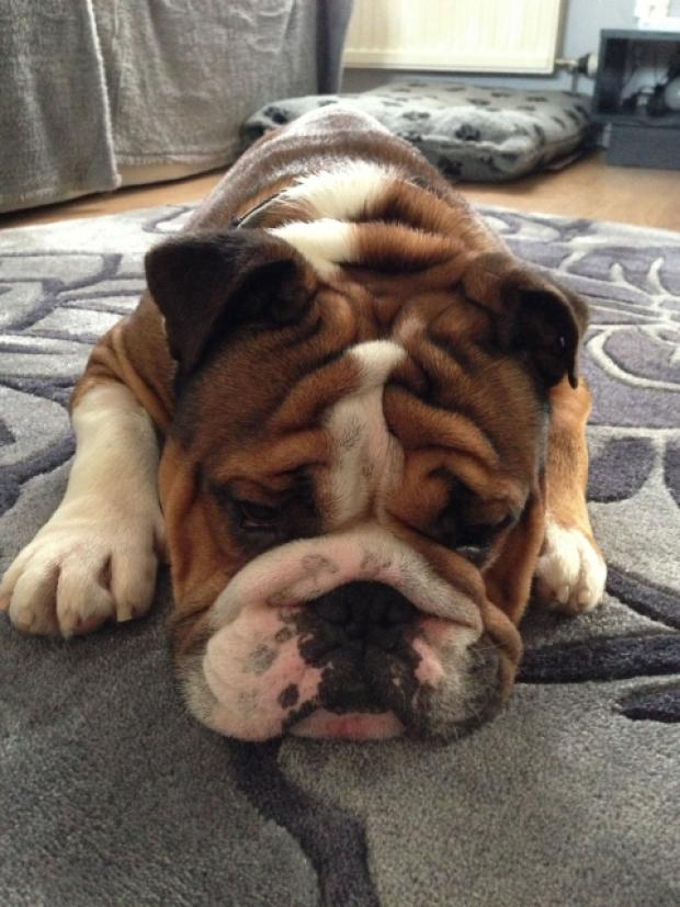 Reggie the bulldog.