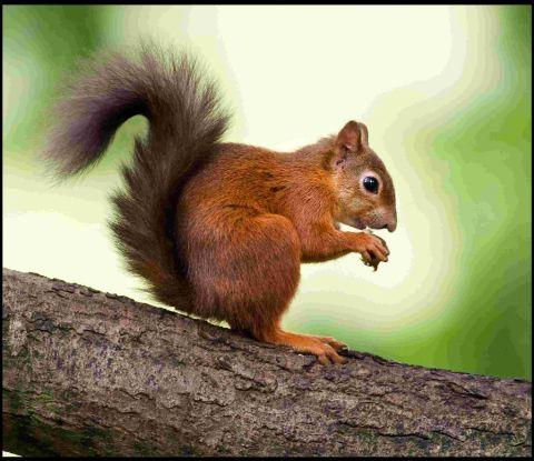 Researchers will look at managing disease in wildlife, including a new infection threatening red squirrels