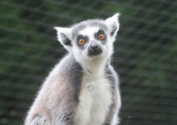 RING-tailed lemurs could be extinct in just ten years according to new research. PHOTO: Chris Moiser.