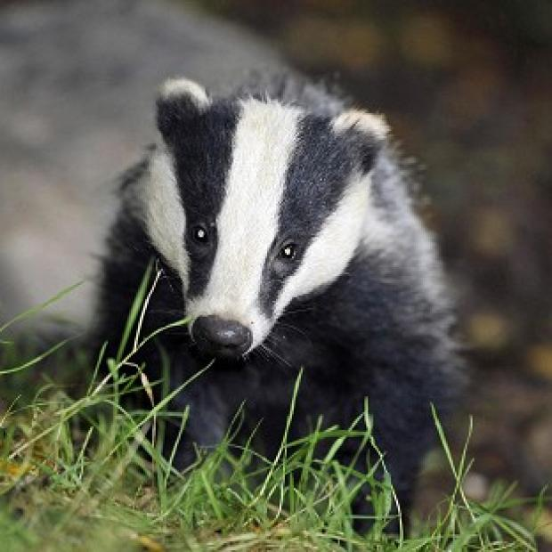 Somerset County Gazette: Policing costs for the badger cull were way over the estimate
