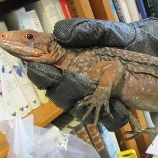 Somerset County Gazette: One of 13 endangered iguanas that have been seized by Border Force officers at Heathrow (Border Force/PA)