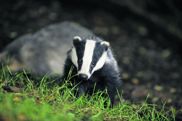 Badger Cull companies and the NFU will not be in police control room during this year's culls