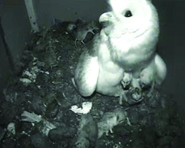 Somerset Owls Become Online Stars Via Webcam Somerset County Gazette
