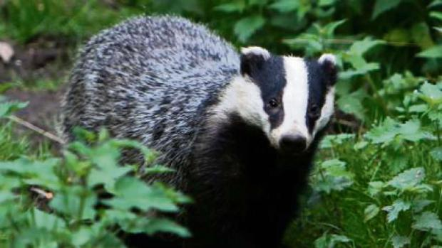 Bid for judicial review of the badger cull