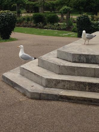 Seagulls are easier to spot than ducklings at Taunton's Vivary Park.