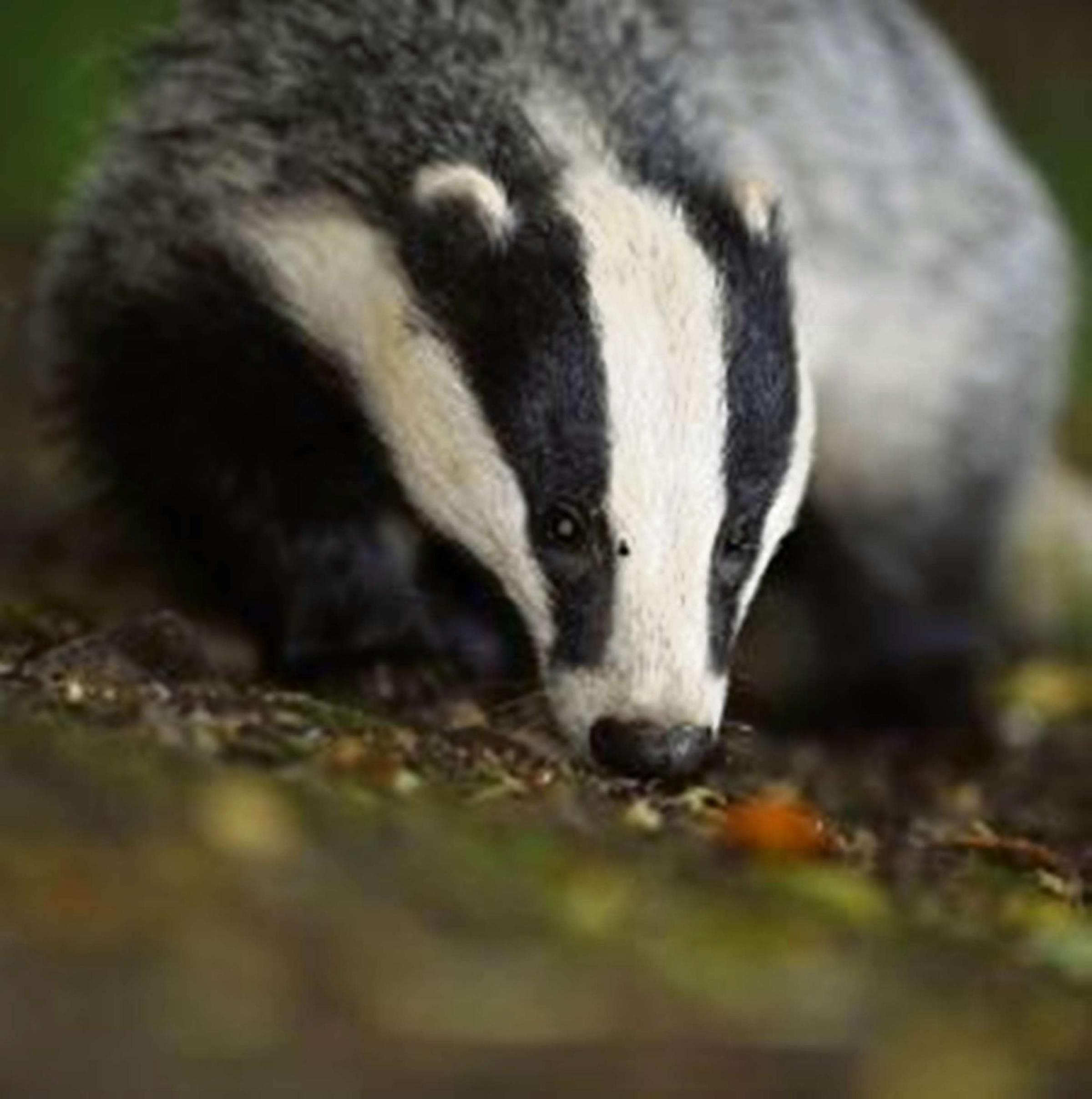 An innovative feeder is proving to be an effective badger deterrent