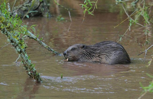 Beaver on the River Otter in Devon © Dave Land
