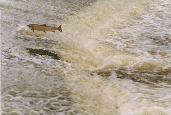 A salmon leaping over a weir on the River Tone.