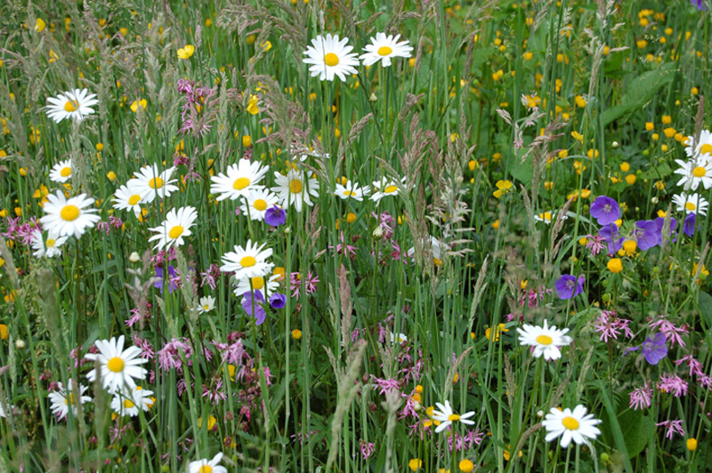 Studies reveal neonicotinoid insecticides have been found in wild flowers