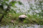 LOST: This little turtle was found by the river in Williton