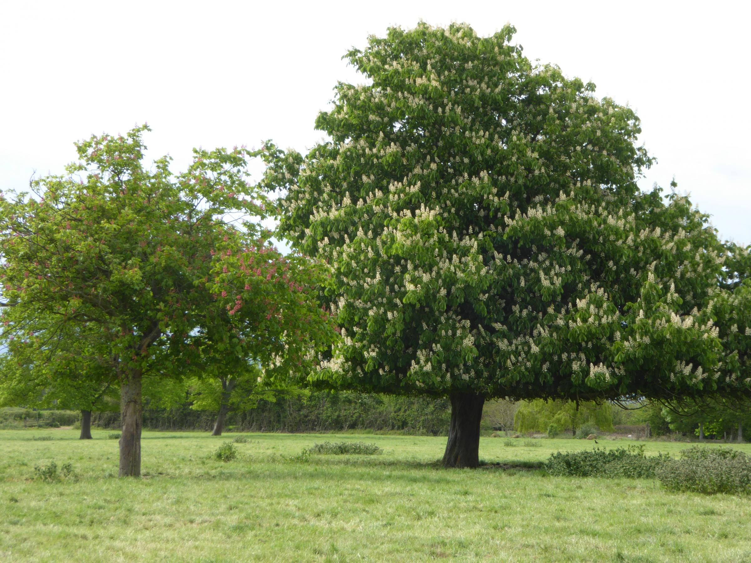 HORSE CHESTNUT: Like that which is to be felled in Taunton