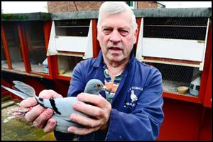 PIGEONS v PEREGRINES: Racers say falcons threaten their birds
