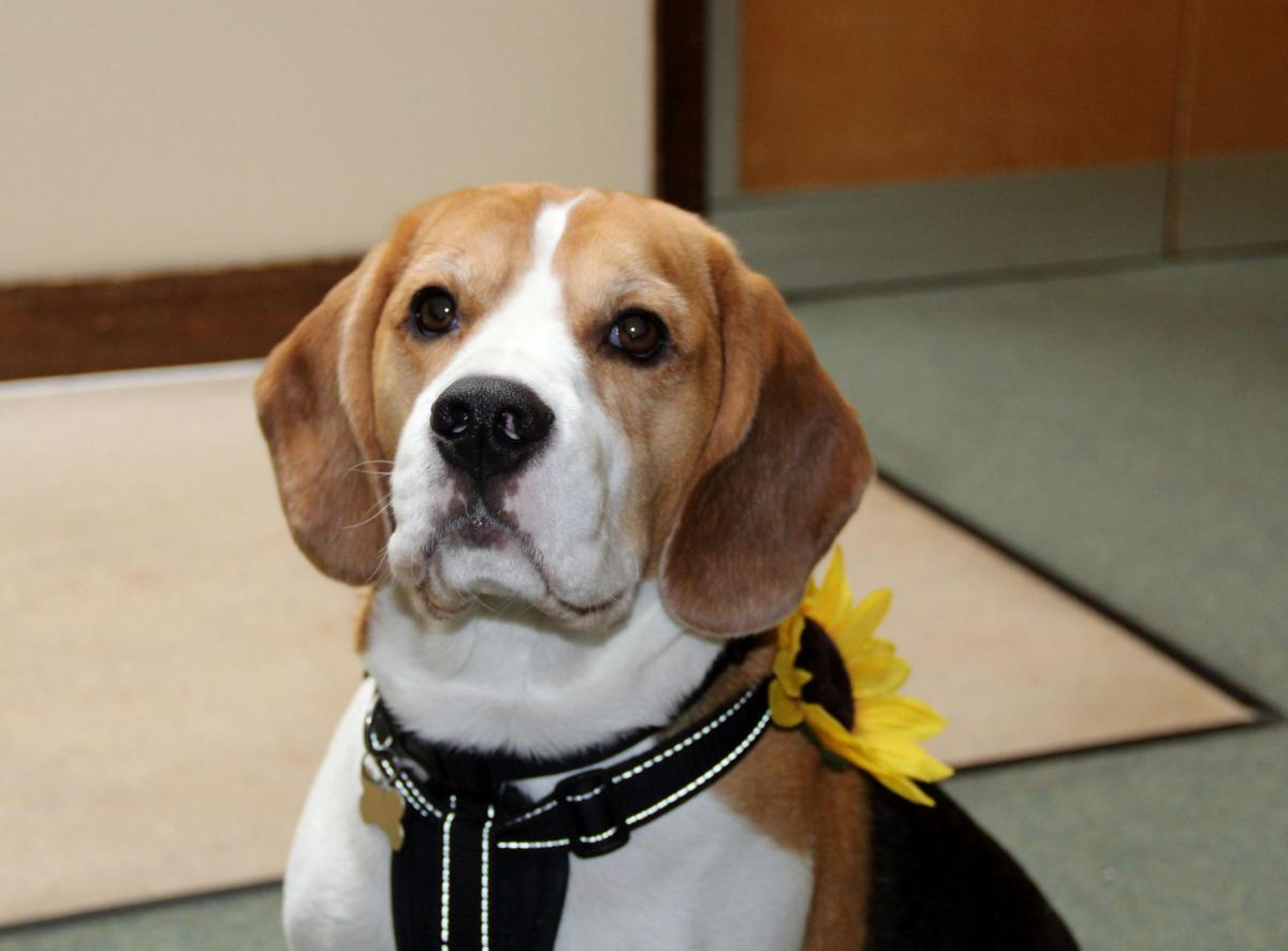 Emma britton and billy the beagle appointed patrons of st margarets billy the beagle becomes the uks first dog hospice patron altavistaventures Images