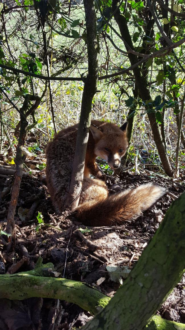 The live fox that was freed.