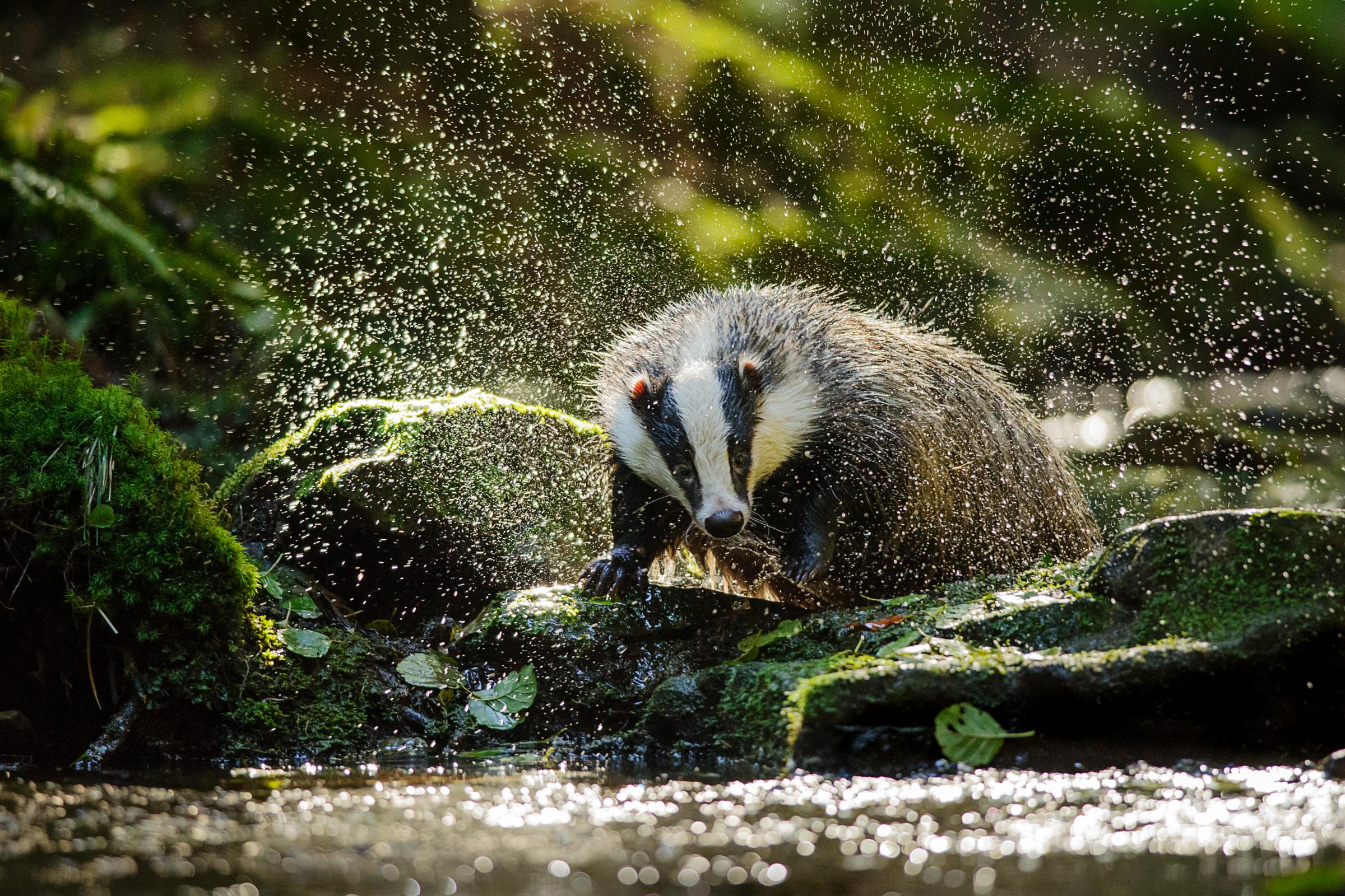 BVA and RSPCA concerned for badgers trapped in cages during