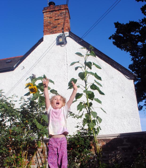 Somerset County Gazette: DELIGHT: Purple Jones celebrating her growing success with her 9ft sunflower