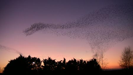 Starlings near Obridge, Taunton, by Anthony Hayman