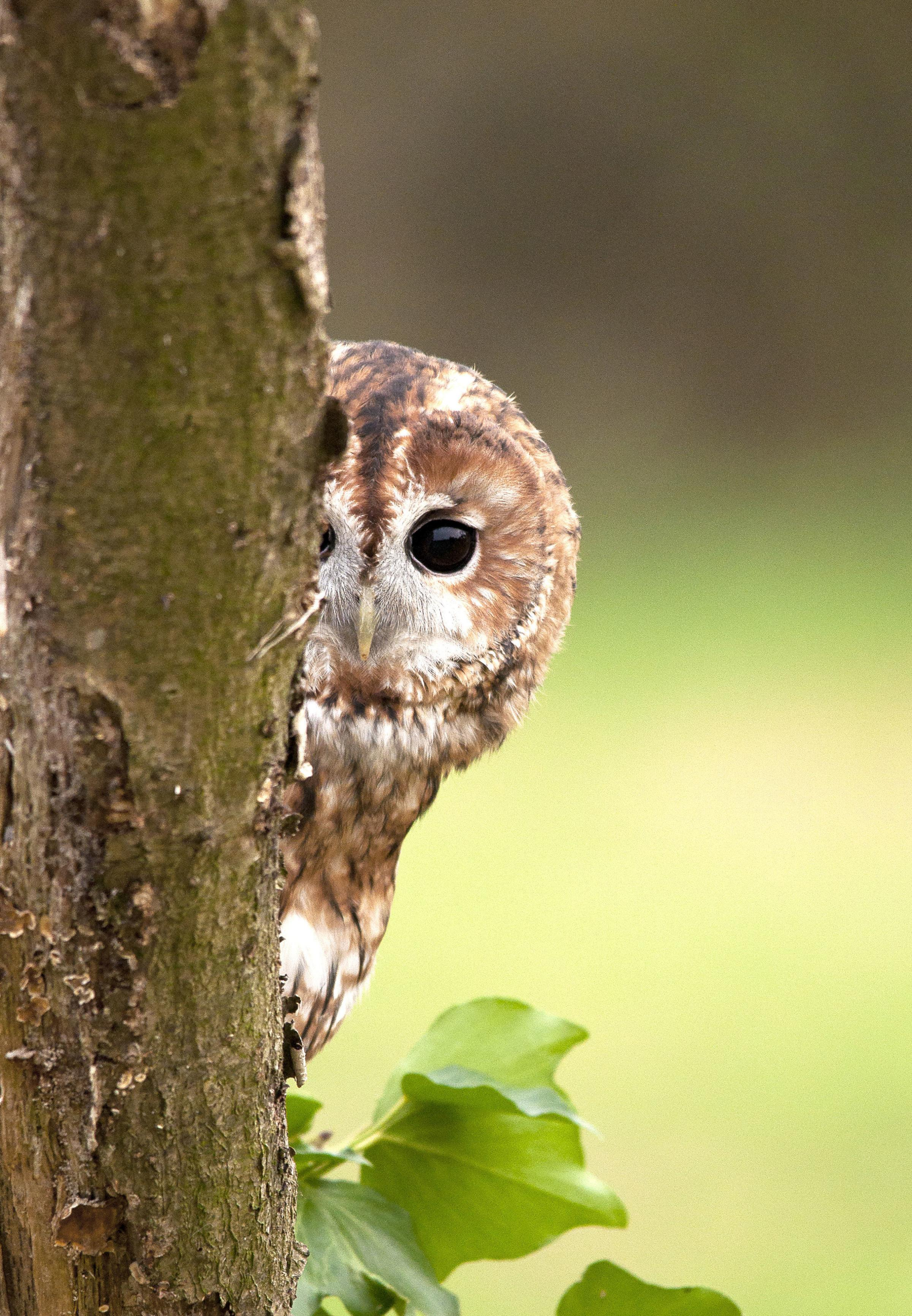 Undated handout photo issued by the British Trust for Ornithology (BTO) of a Tawny Owl, as the public are being asked to listen out for the bird's twit-twoo amid concerns over declines. PRESS ASSOCIATION Photo. Issue date: Friday September 28, 2018. T