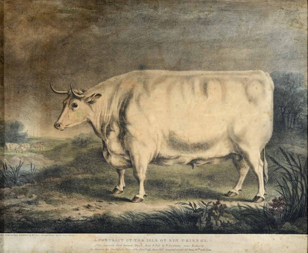 "PRIZED: Colour engraving of the ""Isle of Ely Prize Ox"""