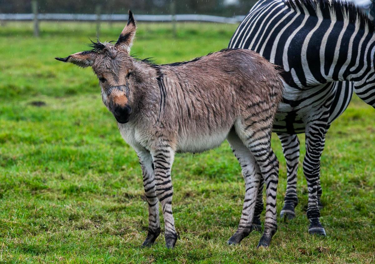 Image result for zippy zonkey