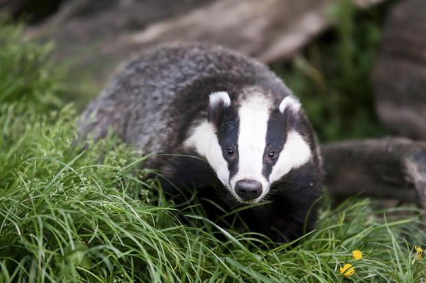 CULLED: Badgers