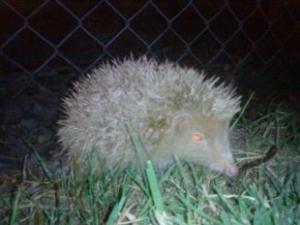 ?typedisplay - Albino Hedgehog?